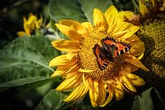 Kleiner Fuchs (Torsten.Schwarz) Tags: butterfly kleiner fuchs schmeterling sonenblume sunflower