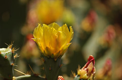 Prickly Pear, i (F.emme) Tags: flowers blossoms blooms cactus desertplants desert yellow