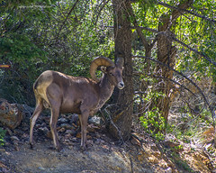 bighorn sheep (Pattys-photos) Tags: bighorn sheep patty pickett pattypickett4748gmailcom