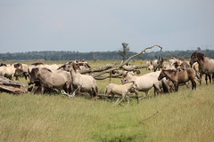 Konik horses (Beyond the grave) Tags: netherlands flevoland polder newnature belowsealevel horses konikhorses landscape