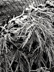 Viridis Japanese maple (williamw60640) Tags: viridis japanesemaple mapletree tree leaves branches