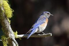 Western Bluebird, Male (brian.bemmels) Tags: sialia mexicana western bluebird westernbluebird cleelum wa male sialiamexicana