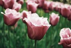 000022 (seustace2003) Tags: keukenhof nederland niederlande holland pays bas paesi bassi an sitr tulip tulp tulipan tiilip tulipa
