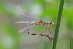 Egg Laying (Hugobian) Tags: hertford heath nature reserve hmwt pentax k1 macro wildlife fauna animsal insect damselfly damselflies emerald