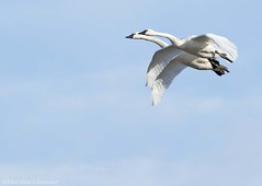 Tundra Swan AF (martinaschneider) Tags: swan tundraswan flight flying bird birds aylmer ontario spring bluesky