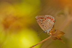 IMG_4419 (chemist72 (Pascal Teschner)) Tags: macro butterfly animal insect depthoffield outdoor tokina100mm canoneos40d insects bokeh nature plebejusargus
