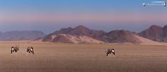 Oryx in evening sunlight (dieLeuchtturms) Tags: 21x9 235x100 7x3 abendlicht afrika antilopen antilopinae artiodactyla bovidae gemsbok hardap hippotragini horntrger namib namibnaukluftnationalpark namibia oryx oryxantilope paarhufer panorama pecora pferdebcke ruminantia spiesbock stirnwaffentrger sugetiere tsauchabvalley vertebrata vertebrates wiederkuer wirbeltiere wste desert eveninglight mammals