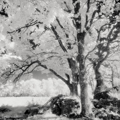 Oak tree dressed in white (ShimmeringGrains.com) Tags: 120film 6x6 blackandwhite efke820ir hasselblad hasselblad503cx ir ir720 irphoto infrared infrardfilm kodakhc110b analog bw film highkey kvadrat mediumformat mellanformat monochrome natur oaktree otherworldly outdoor scannad scanned square svartvit svartvitt tree h276 trees die standing up
