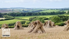 Stooks on the old North Molton road - August 2016 (sclarke_pix) Tags: thatchingstraw thatching northdevon northmolton cereals stooks