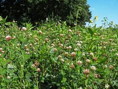 ckuchem-3280 (christine_kuchem) Tags: ackerrand bienenfreund bienenweide blumen blhstreifen feld felder klee landwirtschaft phacelia schmetterlingsbltler sonnenblume sonnenblumenfeld vogelschutz wiesenblume