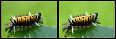Milkweed Tussock Moth Caterpillar, Euchaetes Egle 3 - Crosseye 3D (DarkOnus) Tags: beautifulbugbuttthursday bug butt thursday beautiful hbbbt bbbt pennsylvania buckscounty panasonic lumix dmcfz35 3d stereogram stereography stereo darkonus closeup macro insect milkweed tussock moth caterpillar euchaetes egle