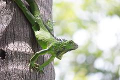 Costa Rica (jorge.cancela) Tags: costa rica playa hermosa guanacaste lizard lagarto