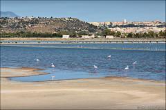 cagliari (heavenuphere) Tags: cagliari sardegna sardinia sardinie italia italy europe island city view hill pink flamingo flamingos birds salinediquartusantelena salinedimolentargius saline santelena parco molentargius salt pond water 24105mm