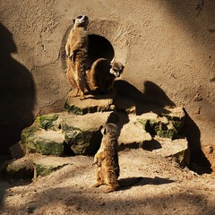 Private life of meerkats: Posing time (mkorolkov) Tags: meerkat meerkats zoo nature light shadow posing fujifilm xe1 xc50230 animals suricate