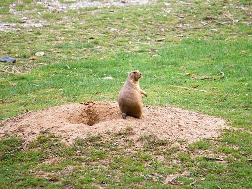 Tierpark Herberstein - Präriehund