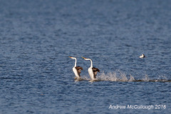"""""""Dancing"""" Clark's Grebes (Let there be light (A.J. McCullough)) Tags: grebe clarksgrebe dancinggrebes oregon klamathfalls birds courtship slbcourtship courting featheryfriday"""