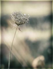 I sogni...non dormono mai (Luigi.glpy) Tags: flower helios fiore ricordi dettagli bokeh parco vintage luce summer 58mm macro