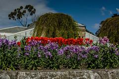 20160928-DSC_8862 (rosemaree905) Tags: hobart flower yellow red white duck garden spring nikon nikond7100