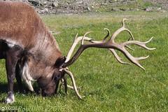 Grazing caribou (Vurnman) Tags: 2016 vacation alaska caribou antlers rack grass grazing alaskawildlifeconservationcenter portage