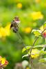 Volcano Hummingbird perched in a leaf (Chris Jimenez Nature Photo) Tags: birding costarica hummingbird nature sangerardodedota selasphorusflammula volcanohummingbird bird centralamerica cerrodelamuerte chrisjimenez colibri colibrie endemic fulllenght leastconcern pee peeing sideview small tiny wildlife