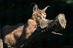Another caracal pi (Cloudtail the Snow Leopard) Tags: karakal tierpark berlin tier animal mammal sugetier katze cat feline caracal beutegreifer wstenluchs