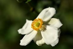 Coronada (cmateosdeporras) Tags: flor parque el capricho estambres ptalos flower hojas macro jardin garden aire libre nikon d5200