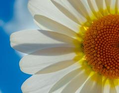 Daisy (Anthony White) Tags: macromondays macro daisy yellow orange summer bluesky backlit flower sky light sun nopeople zeiss winchester owslebury hants harvest inexplore dscrx100m3