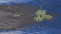 Relaxing Tension (Aerogami.com) Tags: alaska lake lilypad lilly pad reflection surface tension water green blue