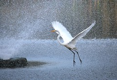 Bird in Flight (chantsign) Tags: bird flying flight crane white whitebird water sprinkle wings pond motion action spray fountain