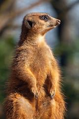 Erdmnnchen (astroaxel) Tags: zoo duisburg erdmnnchen deutschland nrw nordrhein westfalen nordrheinwestfalen