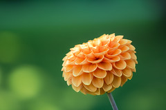 Dahlia (Infomastern) Tags: botanicgarden botaniskatrã¤dgã¥rden lund blomma dahlia flower macro makro
