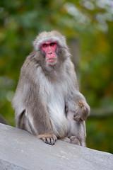 2016-10-27-16h24m20.BL7R3980 (A.J. Haverkamp) Tags: canonef100400mmf4556lisiiusmlens amsterdam noordholland netherlands zoo dierentuin httpwwwartisnl artis thenetherlands japansemakaak japanesemacaque nl