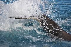 IMG_6833 (Bebelouga) Tags: orque marineland killerwhale orca