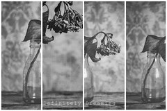 Wilted, multipled (DefinitelyDreaming) Tags: bw blackwhite wilted dying hydrangea stilllife multilens nikefex