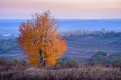 In autumn evening light (cosovan.vadim) Tags: evening light autumn fall landscape leaves yellow sky perspective color fog nikon d750 sigma 70300mm blue hour lone