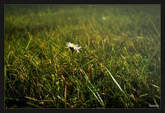 Gnseblmchen (MLursus) Tags: mlursus 2016 herbst autumn berlin germany deutschlang grn green gelb yellow rasen gras flower white weiss nokia lumia 1020