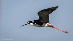 Black-necked Stilt (Bob Gunderson) Tags: birds blackneckedstilt california himantopusmexicanus northerncalifornia peninsula radioroad sanmateocounty shorebirds