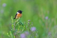 Klskawka, Stonechat (Saxicola rubicola) ... 2016r (Rafa Szozda) Tags: birds nature animals wildlife colors spring nikon d7200 nikkor200500 nowasol lubuskie poland