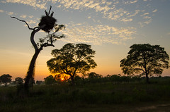 Pantanal Sunrise (Tim Melling) Tags: pantanal brazil sunrise jabiru nest timmelling