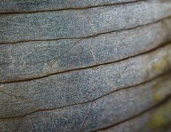 Onion Skin (pedanticsemantic) Tags: macromondays macro onion skin backlit nikon