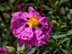 161026 112457 (friiskiwi) Tags: spring flowers nelson newzealand nz