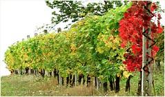 Lder Rojo / Red Leader (Konny D.) Tags: winestones grapevines weinstcke weinreben vitigni vignes vides videiras storm sturm tempestade tormenta tempte bufera bourrasque chubasco borrasca be