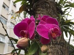 Orqudeas nas ruas paulistanas. (Elias Rovielo) Tags: red vinho flowers flores primavera spring sopaulo alamedafranca orqudeas orchids