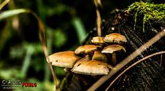 Mushroom_log2 (Chasing Pixels) Tags: tree grass mushrooms moss log country fungi bolton