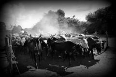 Tropeiros (Eduardo Amorim) Tags: brazil horses horse southamerica brasil caballo cheval caballos kuh cow rind cattle cows ox ganado cavalos oxen mucca pferde cavalli cavallo cavalo gauchos pferd riograndedosul pampa bois khe vache vaca vacas campanha brsil vaches boi chevaux gaucho buey  amricadosul mucche fronteira boeuf vieh gacho amriquedusud  gachos  boeufs buoi sudamrica rinder gado suramrica amricadelsur bueyes sdamerika mue pinheiromachado  bestiami btail americadelsud americameridionale campeiros campeiro