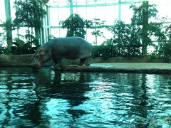 Watch out, I'm going in! (Anetq) Tags: swimming bath going hippo hippopotamus cphzoo