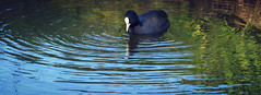Pondering Life (Kim van Dijk photography) Tags: life autumn reflection bird fall water animal colours pondering kimvandijk