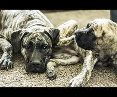 Besties for Life (pixelimagine) Tags: englishmastiff