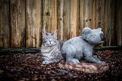BFF's (Jackie888) Tags: plants green grass rain cat break kitty australia drought queensland billy mygarden mybackyard