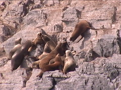 Sea Lions Controlling Territory